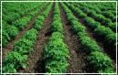 Rows of Healthy Potato Plants